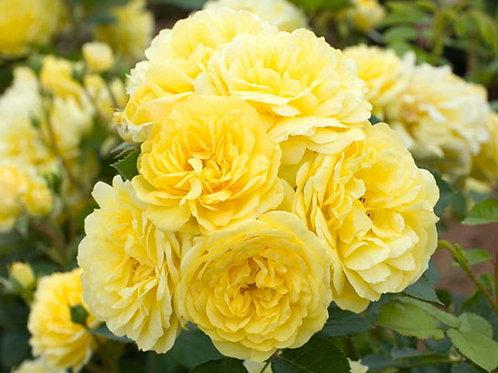 желтая зимостойкая обильноцветущая роза Анни Дюпрей (Anny Duperey)