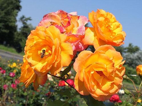 Оранжевая кустовая роза Сахара Sahara