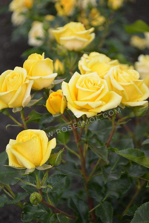 Роза кустовая спрей Шани Shani