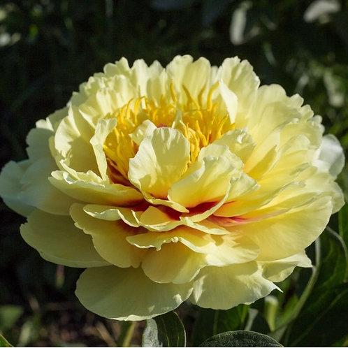 желтый пион Гарден Треже (Garden Treasure) ИТО-гибрид