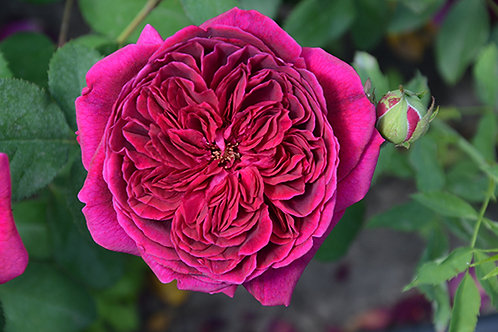 Английская роза Вильям Шекспир 2000 (William Shaekespeare 2000) малиновая пионовидная, розы Дэвида Остина