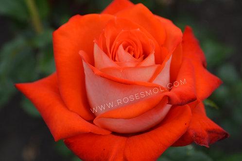 Верано (Verano) чайно-гибридная оранжевая двухцветная роза