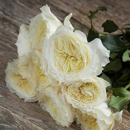 Пейшенс (Patience) Английская роза