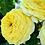 Желтая пионовидная роза Лемон Помпон Lemon Pompon купить саженцы роз почтой