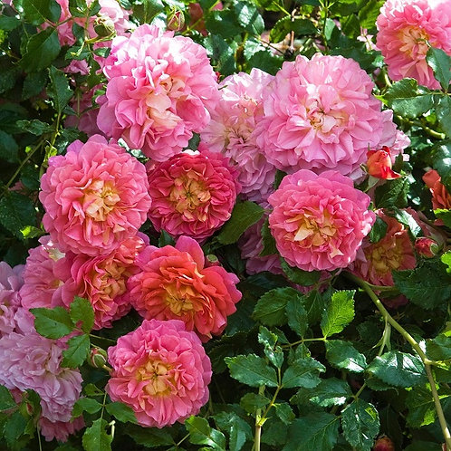 роза английская Кристофер Марлоу (Christopher Marlowe)