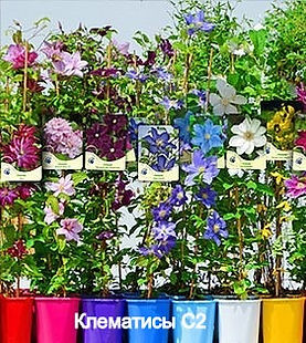 csm_ready-for-sale-clematis-C2_538f85306