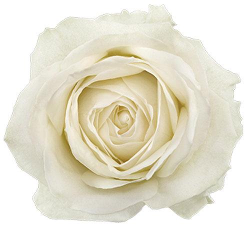 Белая роза чайно-гибридная Эдванс Advance