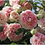 Цезарь (Cezar) плетистая бело-розовая роза