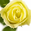 Роза Ванильное небо Vanilla Sky чайно-гибридная желтая лимонная
