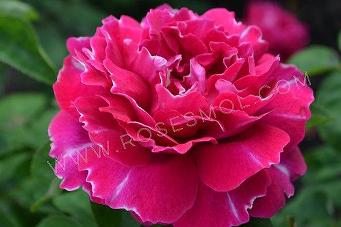 роза старинная Барон Жиро дэ Лен Baron Girod de L'Ain малиновая с белым краем шраб