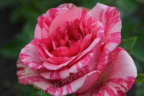 Пинк Интуишн (Pink Intuition) чайно-гибридная
