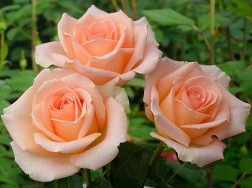 Версилия (Versilia) чайно-гибридная кремовая роза