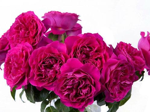 Кейт (Kate) Английская роза