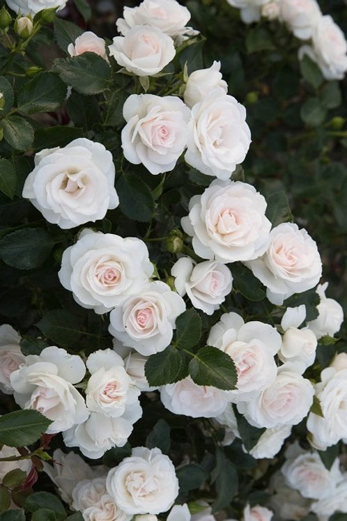 Роза Аспирин Роз (Aspirin Rose) белая флорибунда