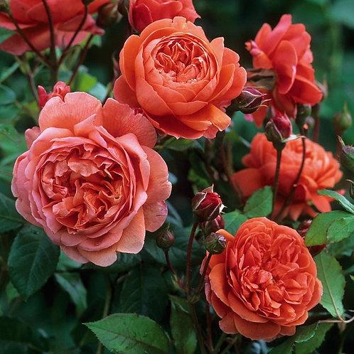 оранжевая английская роза шраб Саммер Сонг (Summer Song)