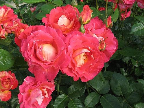 плетистая красная роза Декор Арлекин (Decor Arlequin)