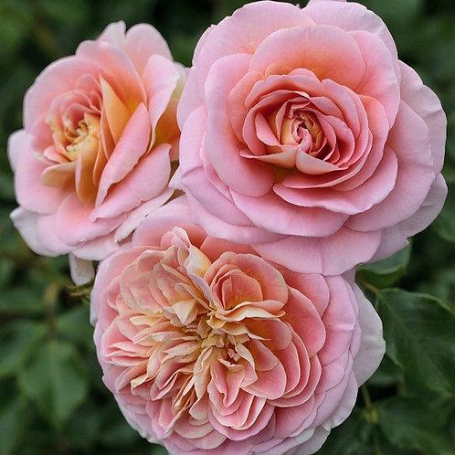 персиковая кустовая роза Концерто 94 Concerto 94