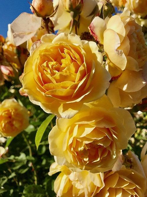 Грэхам Томас (Graham Thomas) Английская роза