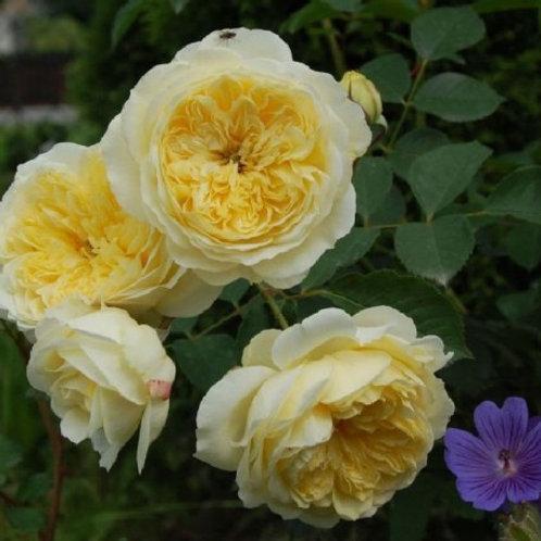 Роза английская Пилигрим The Pilgrim остина