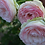 Роза плетистая Пьер де Ронсар Эден Роуз бело-розовая пионовидная