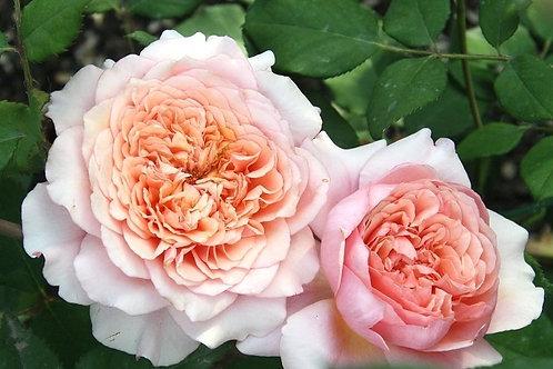 Роза персиковая Фестиваль де Жардан де Шомон (Festival des Jardins de Chaumont) шраб кустовая роза