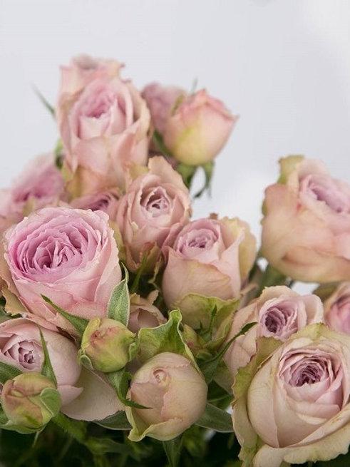 сиреневая роза спрей Сильвер Лейс (Silver Lace)