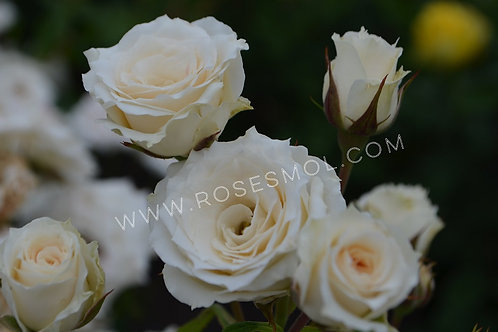 Роза кустовая белая Салинеро (Salinero) спрей
