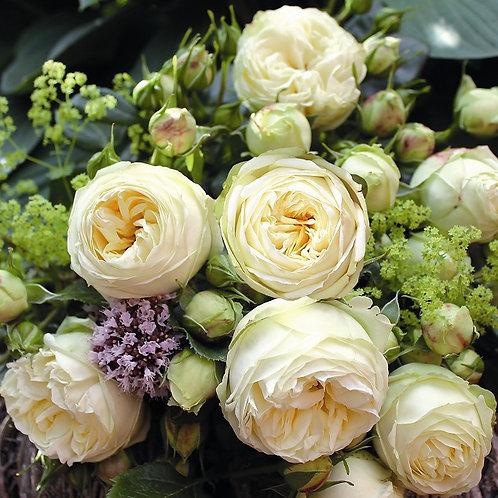 белая пионовидная роза Веддинг Пиано (Wedding Piano) Тантау