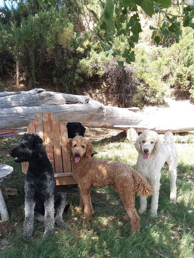 Poodle Sires