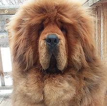 Mei_Mei_Tibetan_Mastiff_Masti_Doodle_Masti_Poo_Tibetan_Masti_Doodle_Tibetan_Masti_Poo_Tibetan_Mastiff_Poodle
