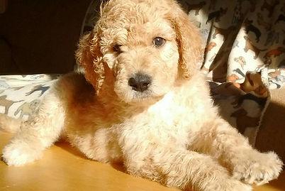 Dogs_Puppies_Kutta_Tibetan_Mastiff_Masti_Doodle_Masti_Poo_Tibetan_Masti_Doodle_Tibetan_Masti_Poo_Tibetan_Mastiff_Poodle