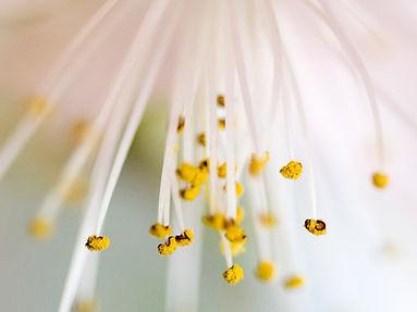 fleur blanche, pollen jaune