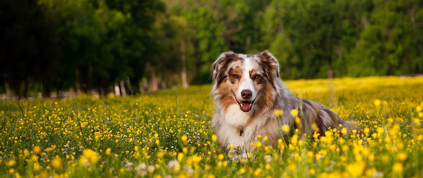 australian_shepherd_dog_shepherd_grass_f