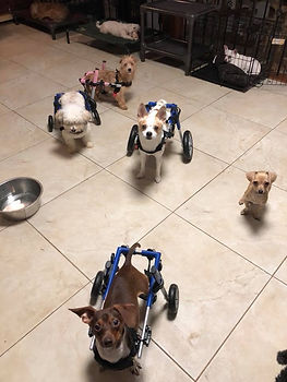 Wheel Chair Dogs.jpg