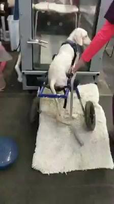Toby  loves his water  treadmill therapy so much., He is too impatient to wait for us !