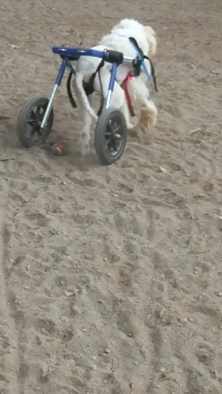 Toby.a soccer player.   Look at the foot work..Sweet boy.  Loves his wheels !  And the BALL.....  To help keep Toby in balls .....please consider donating to Paypal Willow6226@gmail.com