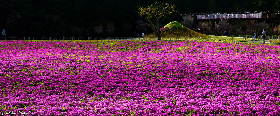 Shibazakura Magic, Japan