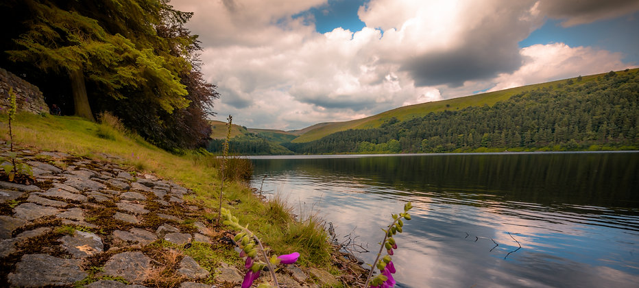 Blooming of Purple Foxglove at the banks of Peak District, England