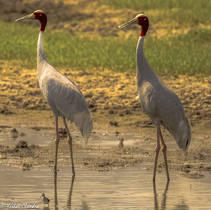 Saras Crane Duo