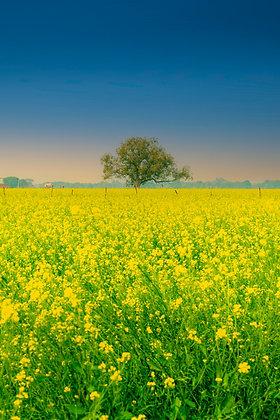 Mustard fields of Chambal, India