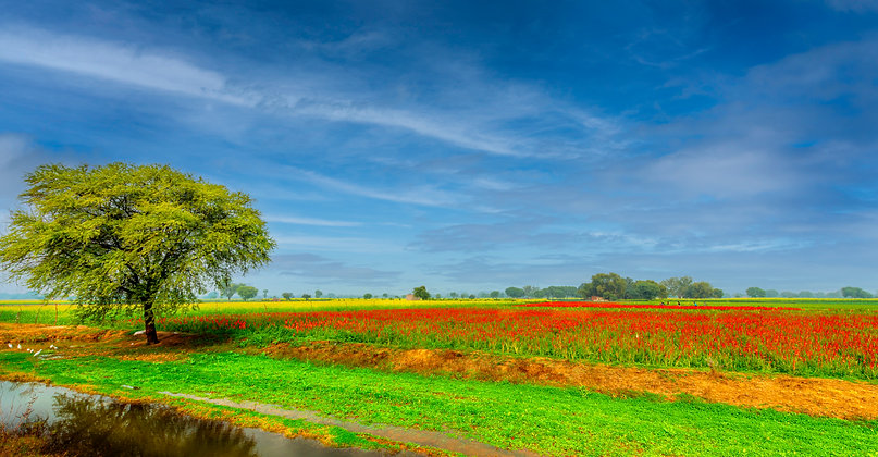 Gladiolus Field, U.P, India