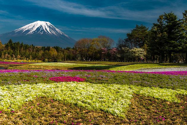 Fuji Shibazakura, Japan