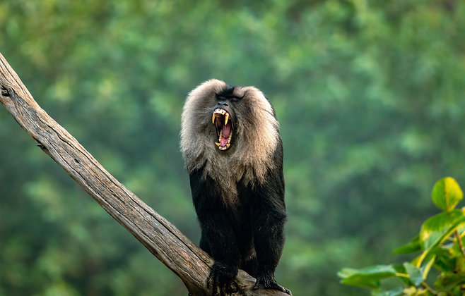 Charge Of Lion-Tailed Macaque
