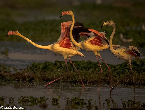 Flamingo's Rush Hour