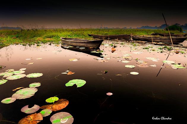 Lotus Leaves, Kanwar Lake, Bihar, India