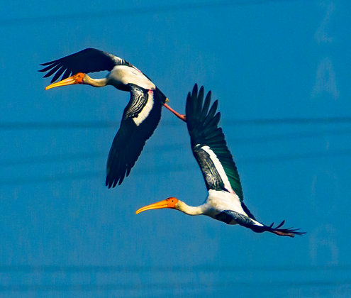Painted Stork In Flight