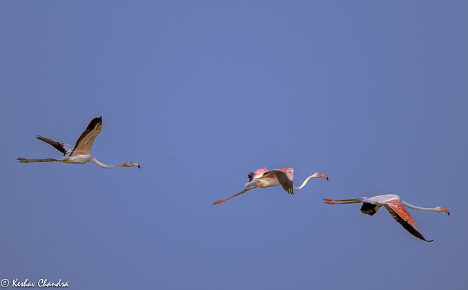 Flamingo Trio In The Blue Sky