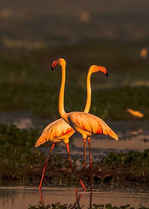 Couple Flamingos In The Evening Light