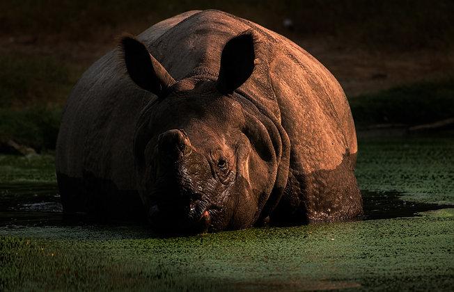 Indian Rhinoceros Bathing