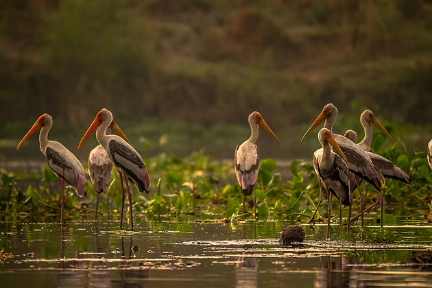 Group Of Painted Storks